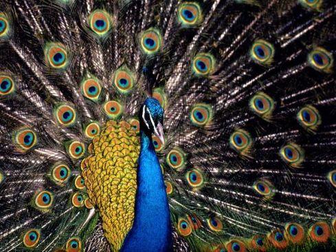 peacock_657_600x450